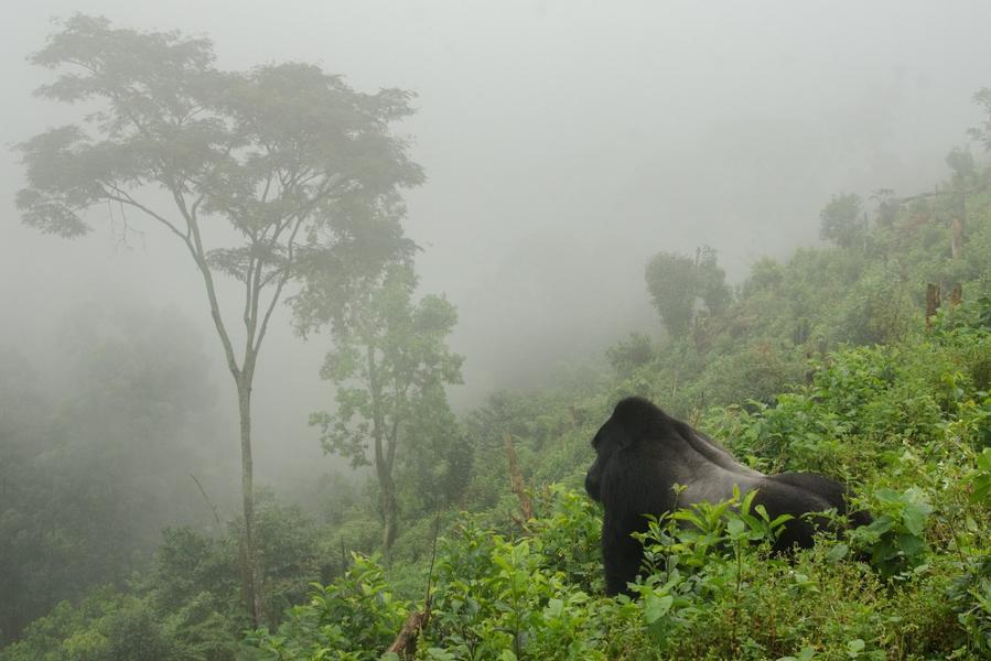 Ouganda : rencontre avec les derniers gorilles des montagnes