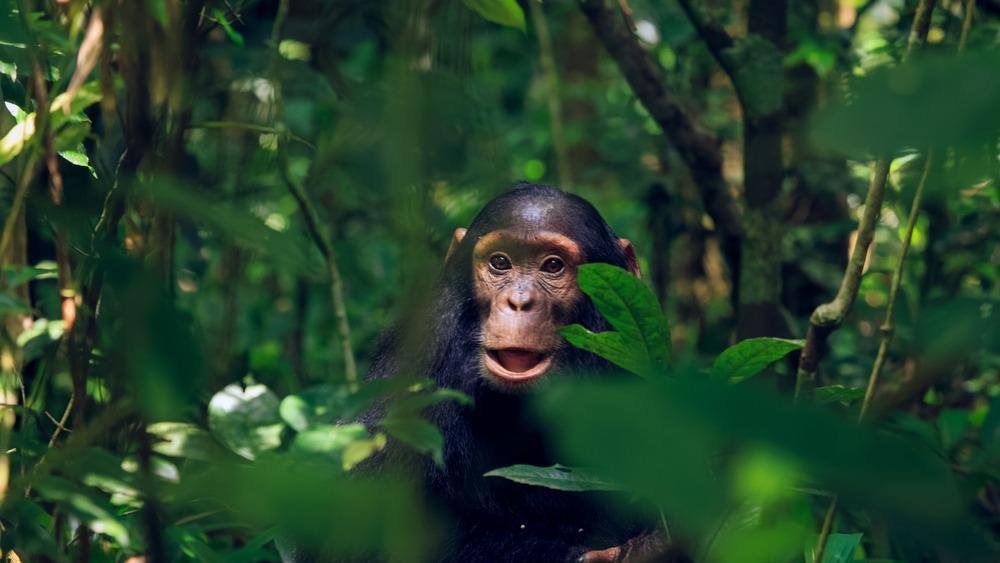 Où voir les chimpanzés en Ouganda ?